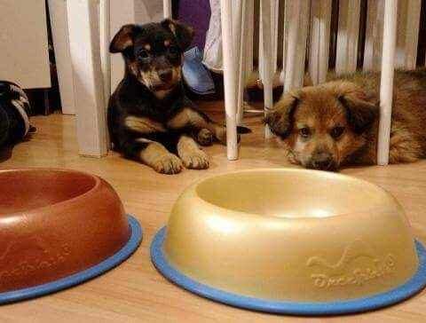 Pieski próbujące ogarnąć pytanie: ``po co ktoś poteflonował im miski?``